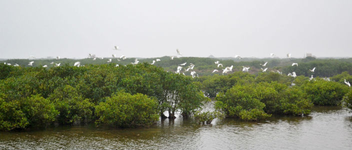 mangroves_and_migratory_birds
